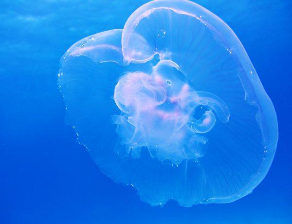 moon-jellyfish-aurelia-aurita-schirmqualle-66321